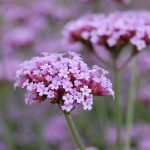 6 Self-Seeding Plants To Try in Your Garden