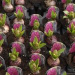 A Quickfire Way to Force Bulbs to Grow in Winter