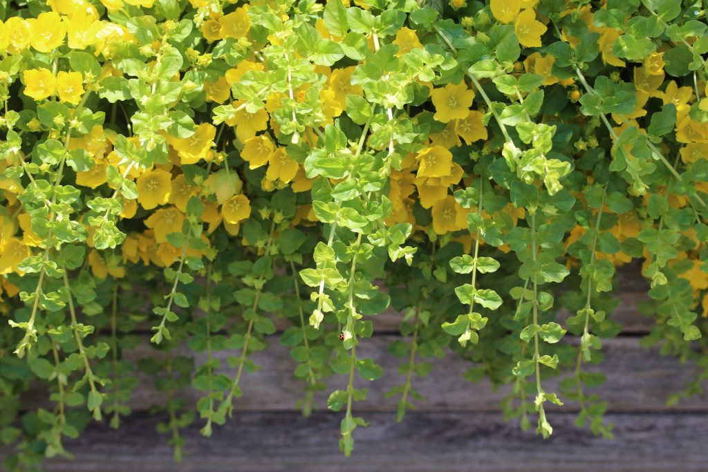 Trailing plants creeping jenny