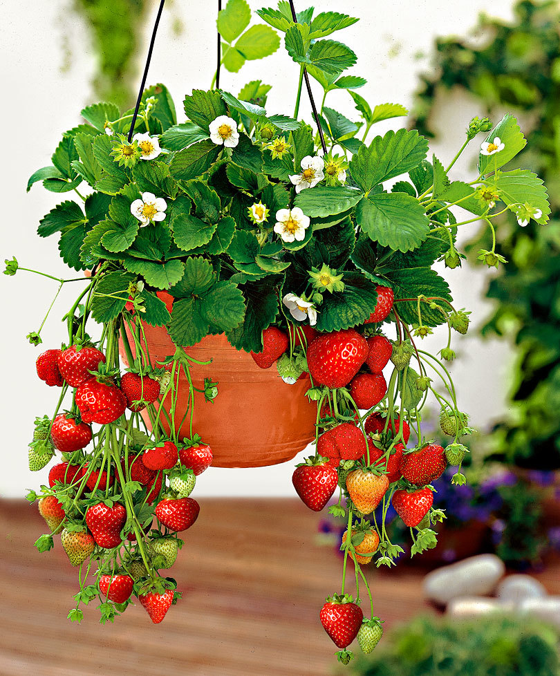 strawberry plants for window boxes