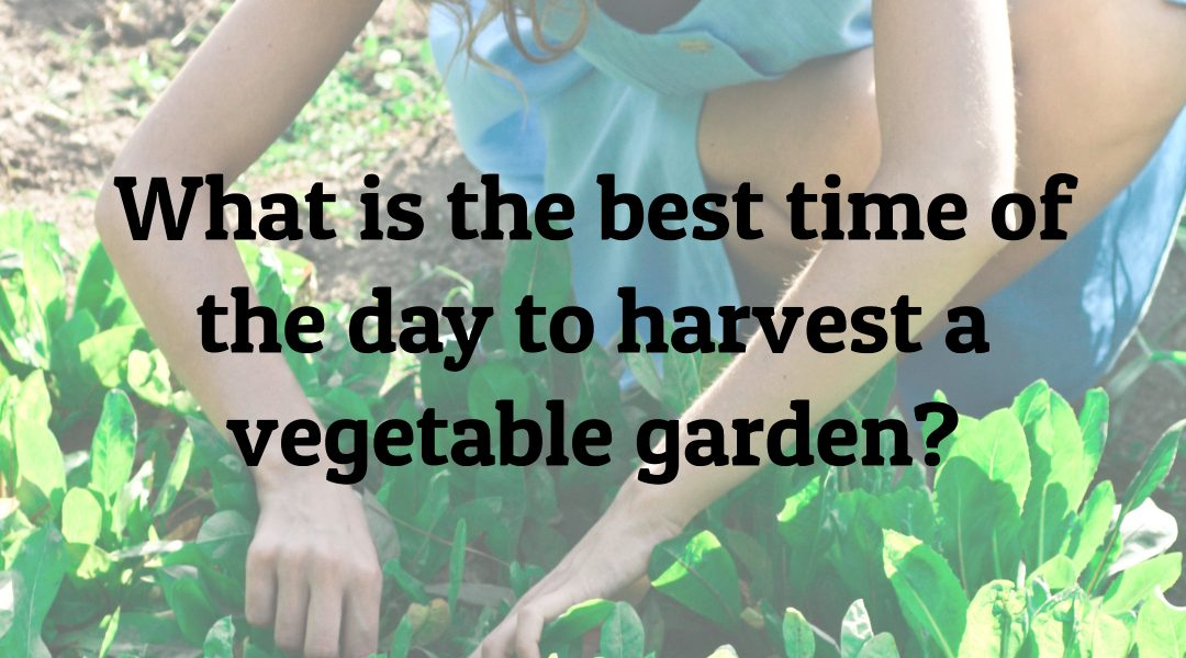 What is the best time of the day to harvest a vegetable garden?