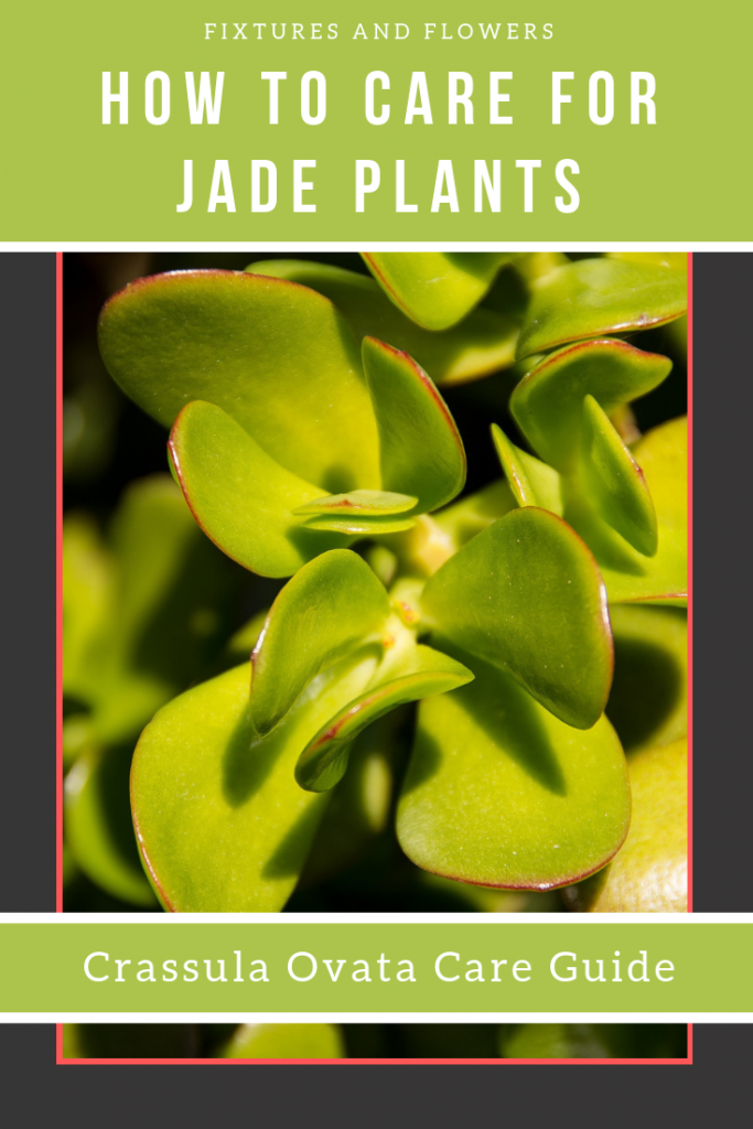 Jade Plant Care Pinterest Image