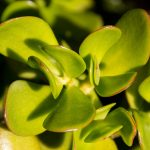 Crassula Ovata (Jade Plant) Care Guide