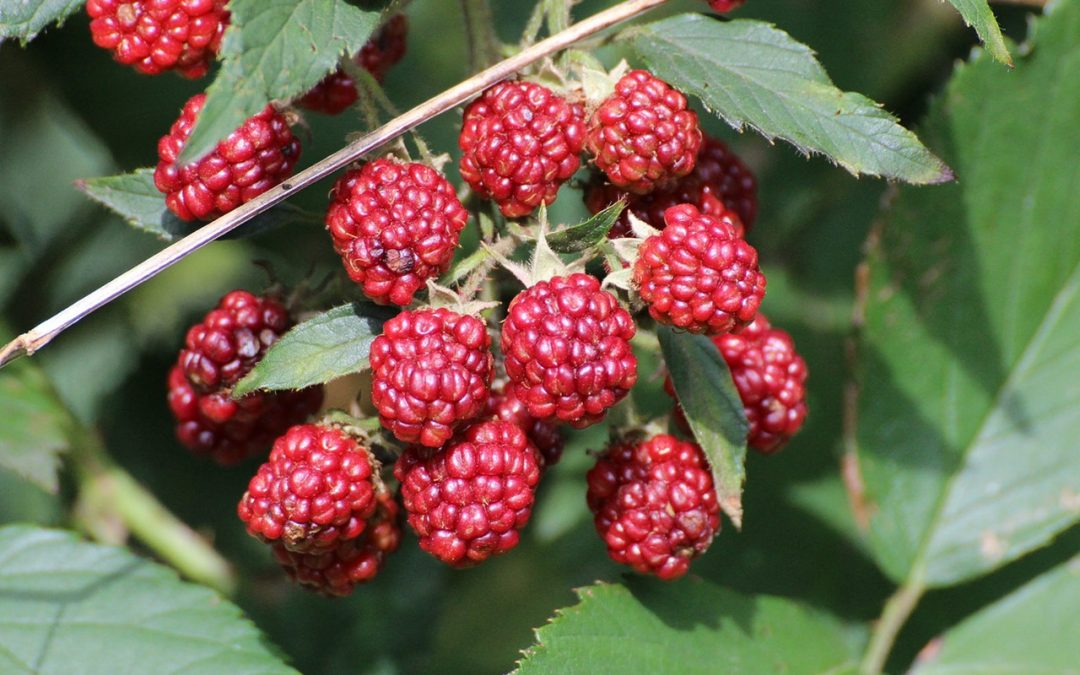 What You Need to Know About Pruning Raspberries
